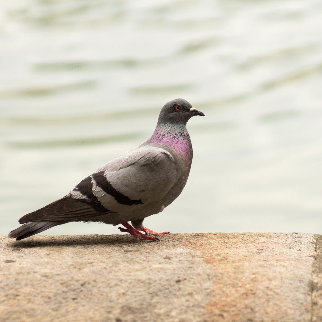 Pidgeon